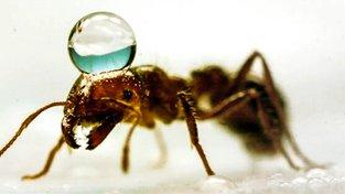 Mravenec s bublinou