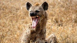 Kýchání jako 'jazyk': Vědci rozluštili komunikaci mezi hyenami