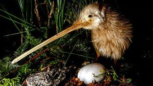 Ptákům kiwi hrozí vyhynutí