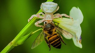 Pavouci se živí hlavně hmyzem, denně spořádají desetinu své váhy. Ilustrační snímek