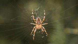 Pavouci mají stovky genů pro tvorbu hedvábí. Ilustrační snímek