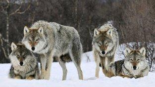 Vlky můžeme potkat dokonce i v České republice. Ilustrační snímek