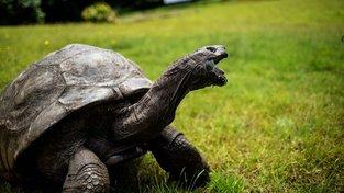 Jonathanovi je nejméně 185 let a je tak nejstarším živočichem na Zemi