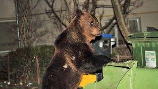 Medvědi se v Rumunsku dostávají stále blíž lidským obydlím. Vláda ale zakázala jejich lov, a tak místní sahají k vlastnímu řešení