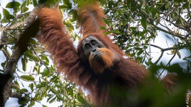 Jedním z nově popsaných druhů je orangutan tapanulijský žijící na Sumatře
