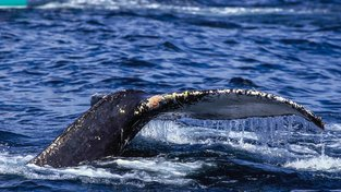 Na tělech velryb vědci pozorovali cáry staré kůže, po drbání zmizely. Ilustrační snímek