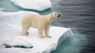 Lední medvědi tráví většinu času ve vodě. To, že jsou nyní více na pevnině, není podle vědců dobré znamení. Ilustrační snímek