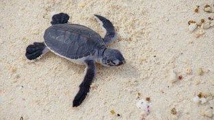 Mořské želvy se líhnout téměř už jen samice. Ilustrační snímek