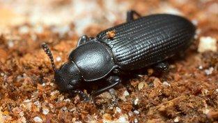 Stavba těla potemníků možná odpovídá na otázku, jak vznikla hmyzí křídla