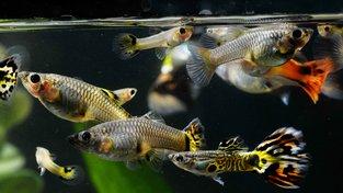 Živorodky jedním pohledem spočítají velikost hejna a rozhodnou se pro větší, i když je rozdíl jen o jednu rybku