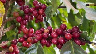 Kávovníkům nedělají klimatické změny dobře. Ilustrační snímek
