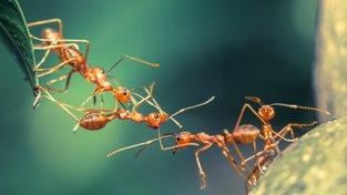 Mravenci si pomáhají nejen při stavbě, ale i když jde o zdraví. Ilustrační snímek