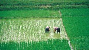Geneticky modifikovaná rýže by měla nabídnout výrazně vyšší výnosy. Ilustrační snímek