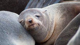 Spící lachtan medvědí
