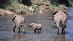 Populace slonů v Africe klesla z tří až čtyř milionů na konci 19. století na současných zhruba 400 tisíc