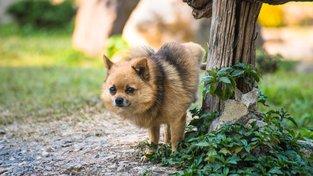 Malí psi se snaží čůrat vysoko, aby vypadali větší. Ilustrační snímek