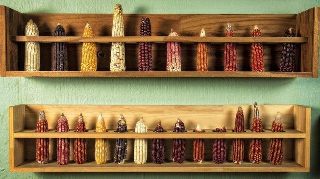 Různé druhy mexické kukuřice vystavené v restauraci Zandunga ve městě Oaxaca de Juárez
