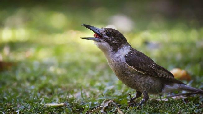 Ťuhýk - drobný hezký ptáček se smrtícím zobákem