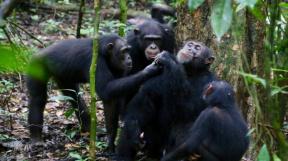 Studovaní šimpazi během svačiny