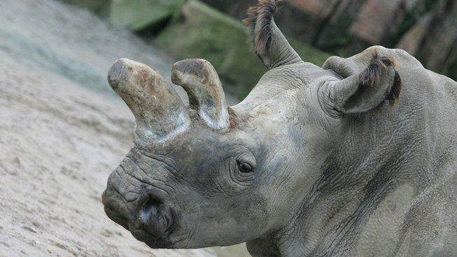 Nosorožci bílí jsou na pokraji vyhynutí, na světě žijí už jen dvě samice.