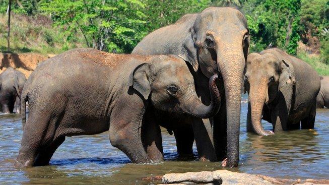 Sloni indičtí zřejmě umí počítat lépe než jiná zvířata