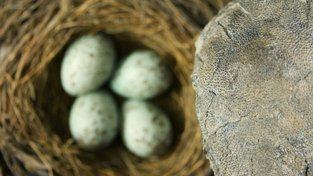 Vejce dinosaurů byla pestrá jako vejce ptáků, ukázal nový výzkum