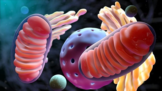 Ilustrační kresba mitochondrie