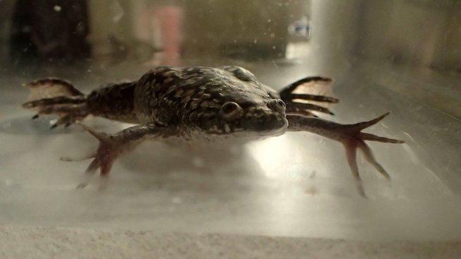 Nový bioreaktor pomohl drápatkám vodním urychlit dorostení nohy