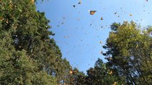 Motýlí migrace