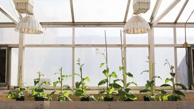 Nalevo vidíte čtyři nemodifikované rostliny, napravo pak čtyři modifikované