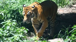 Počet tygrů v nepálské džungli se zdvojnásobil