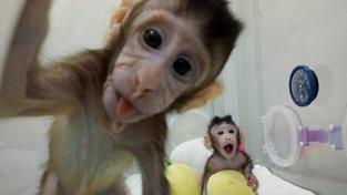 Čínští naklonovaní makaci