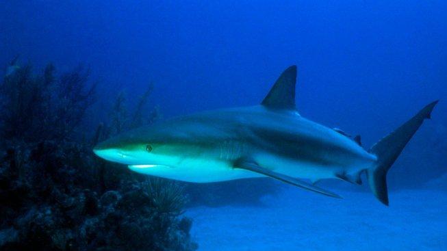 Evoluce žraloků trvá už minimálně 385 milionů let. Ilustrační snímek