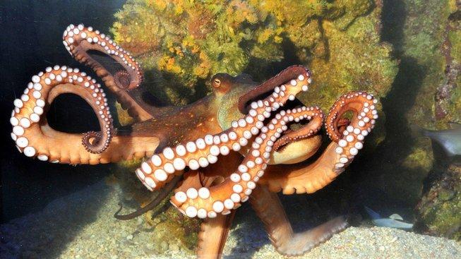 Chobotnice si zřejmě vyvinuly vlastní způsob evoluce. Ilustrační snímek
