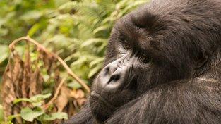 Gorily truchlí po svých zemřelých. Ilustrační snímek