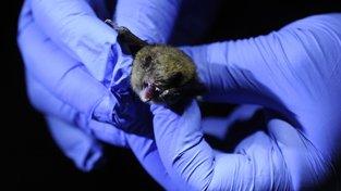 Testování netopýrů na syndrom bílého nosu se většinou neobejde bez jejich zabití