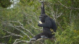 """Šimpanzi se chodí do blízkosti lidských obydlí """"pást"""" na ovocné farmy. Ilustrační snímek"""