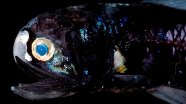 Že na dně oceánů není potřeba kvalitní zrak? Omyl. Na ilustračním snímku zástupce Lanternfish (Myctophidae)
