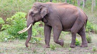 Slon asijský