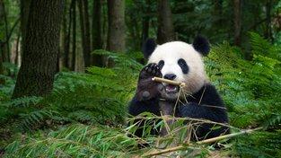 Pandy velké dokážou denně zkonzumovat neuvěřitelné množství bambusu