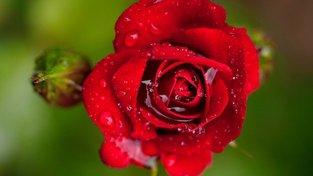 Růže mají k zachytávání vody ideální tvar květu. Ilustrační snímek