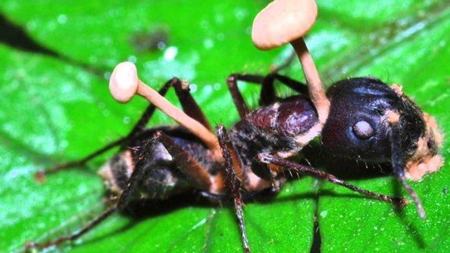 Mravenec zasažený parazitickou houbou Ophiocordyceps unilateralis