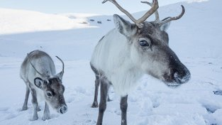 Ze sněhu sob potravu vyhrabe, s ledem si však neporadí