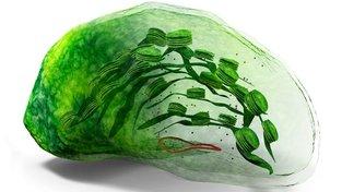 Ilustrace struktury chloroplastu, mikroskopického útvaru uvnitř buňky, který je zodpovědný za fotosyntézu
