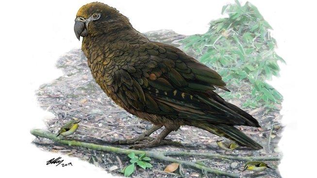 Obří nelétavý papoušek Heracles inexpectatus, který žil na Novém Zélandu před 19 miliony let