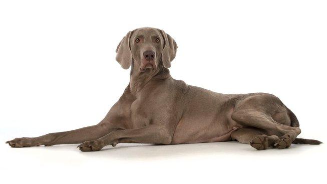 profimedia-0350947871weimafdog