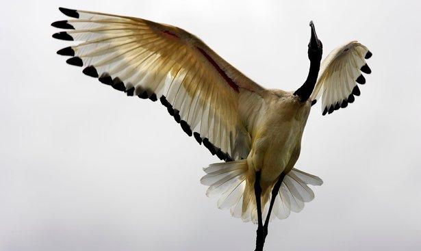 profimedia-0174683054 sacred ibis