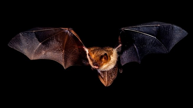 profimedia-0161478225 flying bat