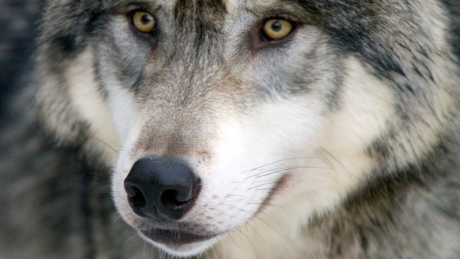 profimedia-0056247638 wolf 2