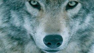 Vlk, předek psa